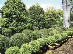 GN-MR-49-1-DEALING-WITH-BOXWOOD