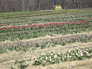 GO-MR-50-3-Wicked-Tulips5790