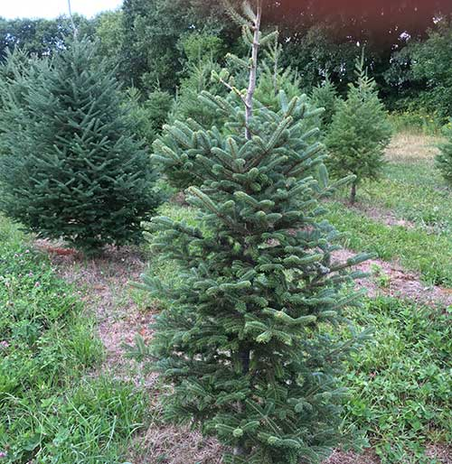 Country Pines Christmas Tree Farms: Western NY Tree Farm And State Program Team Up To Educate